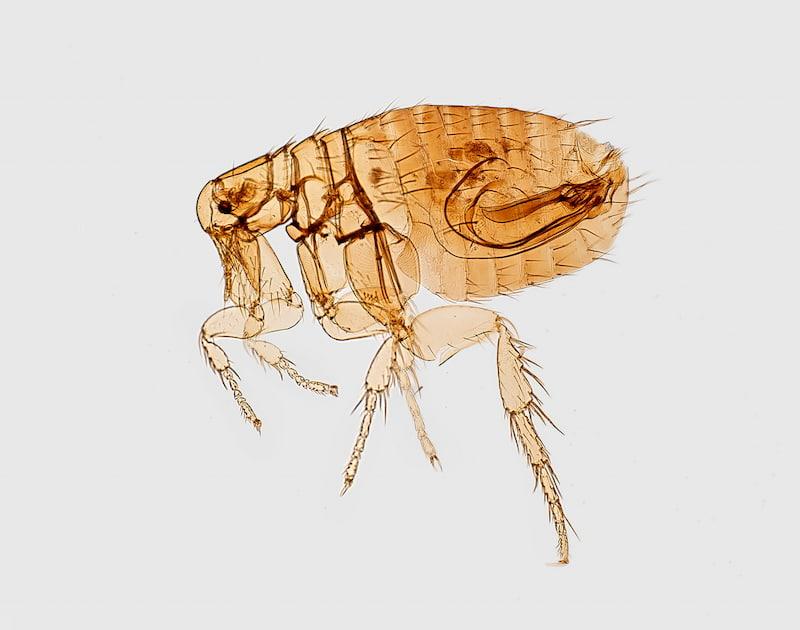 Cómo eliminar pulgas en casa, terrenos y animales