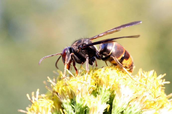 eliminar vespa velutina