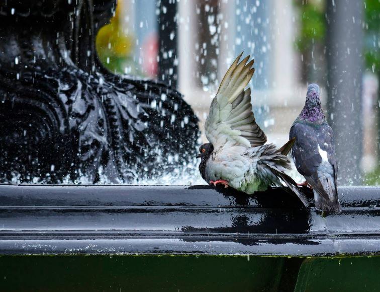Plagoo-plaga-palomas