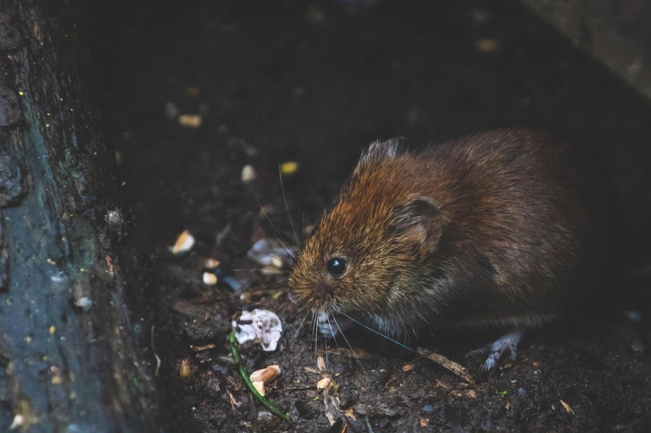 Ratas: Qué son y cómo acabar con ellas